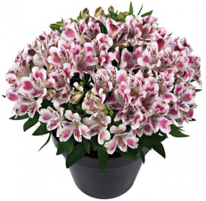 Inticancha White Pink Blush frost tolerant annual