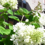 hydrangea tree at 48 North Parade in Buffalo