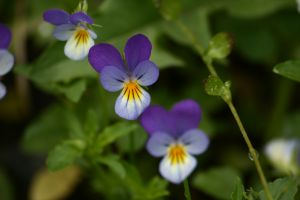Explore The Symbolism Of Februarys Birthday Flowers Violet And