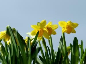 daffodil in Buffalo