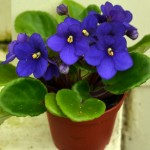 African violet in Buffalo NY