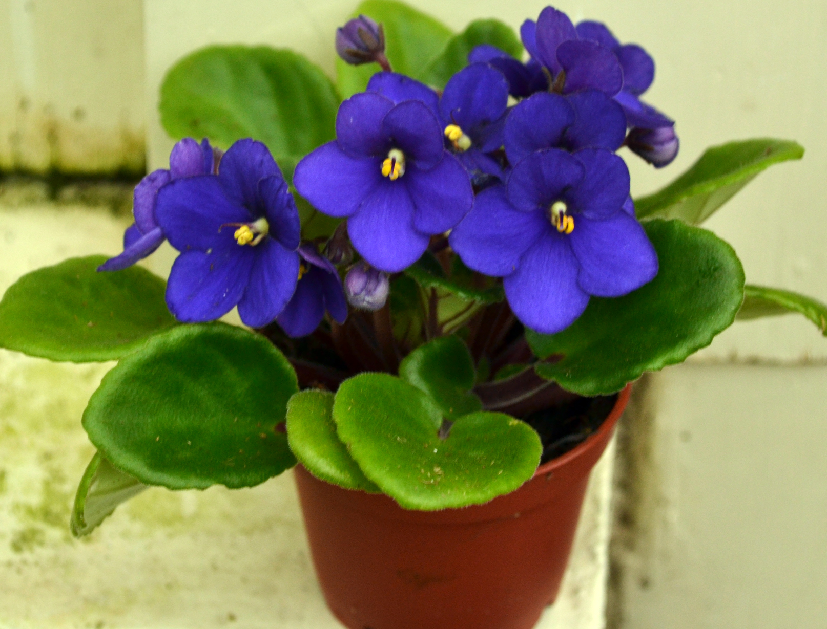 Nine tips to keep your African violet looking its best ... Ljubicice