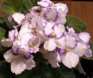 African violet in Cheektowaga NY