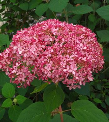 Invincibelle hydrangea in Niagara County