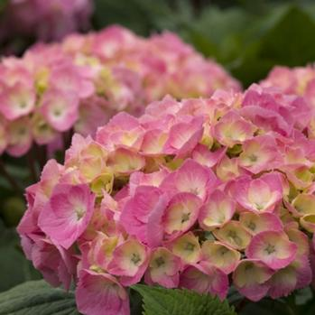 Reblooming Hydrangea (Hydrangea Reblooming) 'Let's Dance Big Easy'