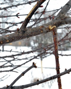 prune broken branches in Buffalo