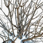 prune shrubs in Buffalo