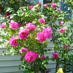 rose in bloom in Lancaster NY