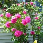 rose in bloom in Lancaster NY