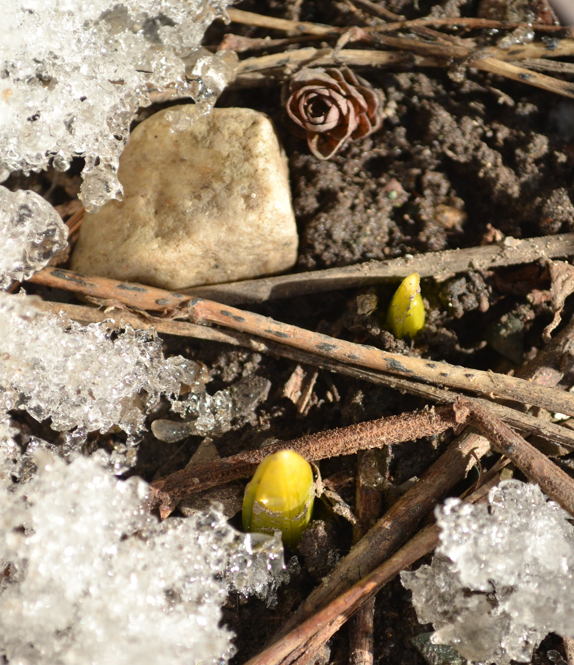 spring buds and rock in snow in Buffalo