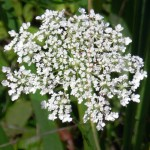 Queen Anne's Lace in Buffalo NY
