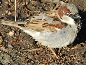Sparrow on dirt in Buffalo Niagara region