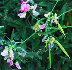 Sweet pea flowers and pods in Niagara Falls NY