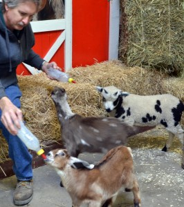 feeding sheep and goats at Buffalo and Erie County Botanical Gardens