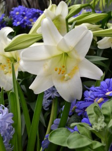 lily with cineraria and hyacinth in Buffalo NY