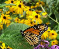 monarch butterfly by Craig Pitts