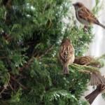 sparrows in juniper in Buffalo-Niagara area