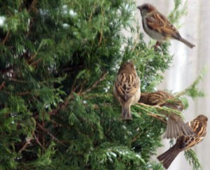 sparrows in juniper in Buffalo-Niagara area