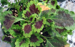 Roaring Fire coleus - tall