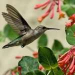 hummingbird at honeysuckle