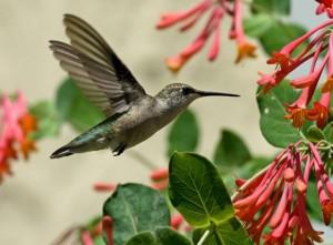 hummingbird at honeysuckle