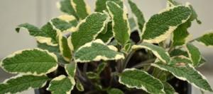 variegated sage in Buffalo NY area