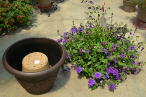 Hollywood pop and drop technique for container gardens