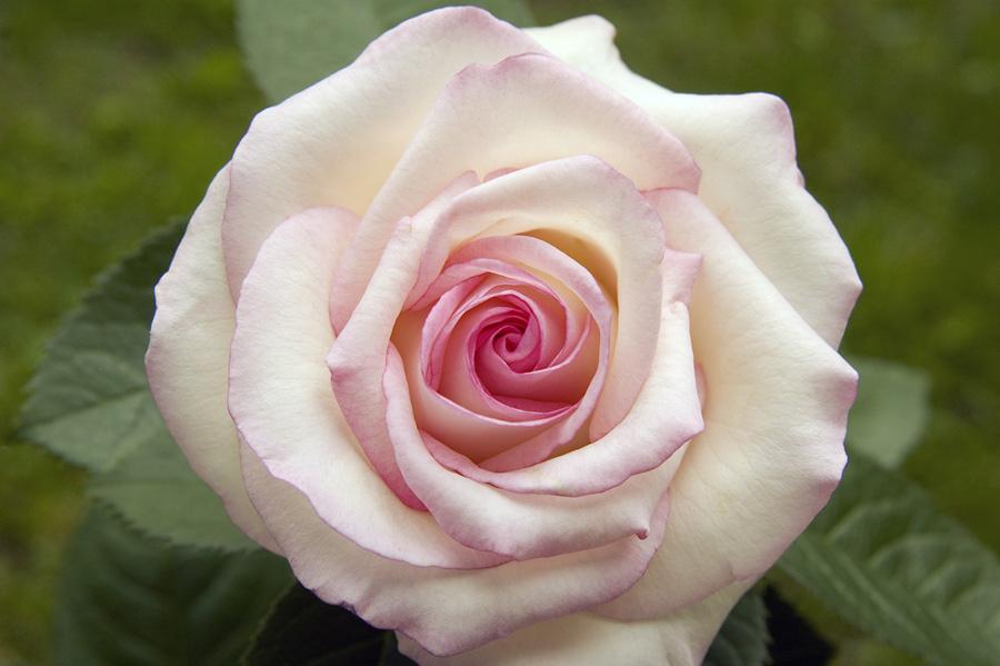 QueenMoonstone rose in Western New York