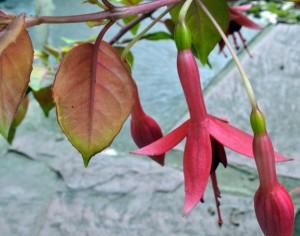 autumn fuchsia in Lewiston NY
