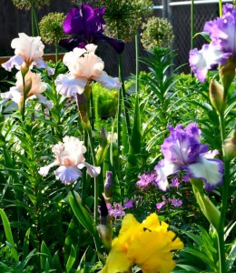 How to keep your iris blooms from tipping over