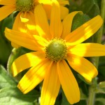 Irish Eyes rudbeckia in Buffalo NY area