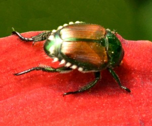 Japanese beetle in Western New York