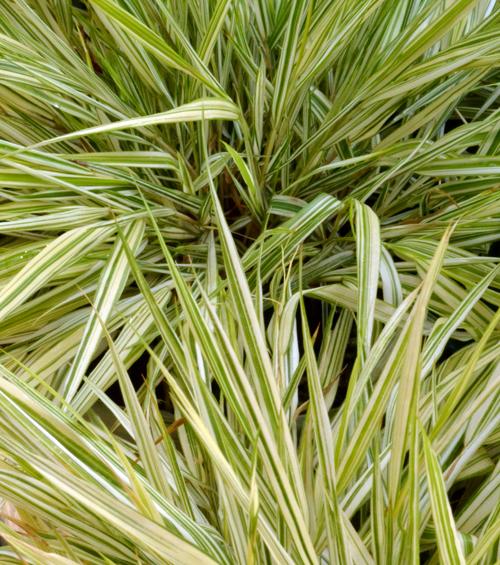 Japanese ornamental grass in buffalo ny area buffalo for Japanese tall grass