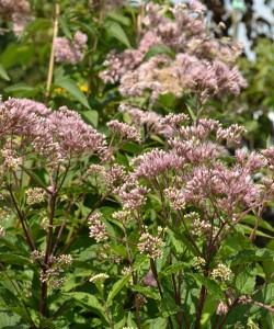 Joe Pye weed in West Seneca NY