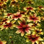 'Route 66' threadleaf coreopsis in Buffalo NY area