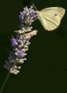 butterfly in Niagara Falls NY
