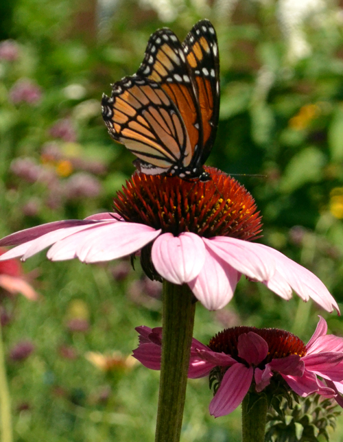 butterfly on purple coneflower in West Seneca NY