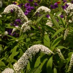 gooseneck loosestrife in Amherst NY