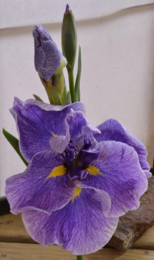 Multiple buds on one stalk, trend in Japanese iris