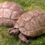 tortoises in Lockport NY