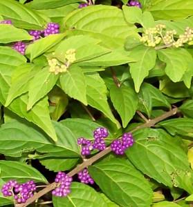 calliparpa (Beauty Berry) in Buffalo NY area