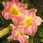 daylily 10