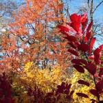 fall color in Sally Cunningham's garden