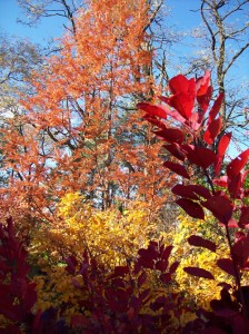 fall color in Sally Cunningham's garden