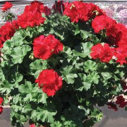 geranium 'Calliope' Dark Red