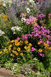 phlox in Buffalo NY garden