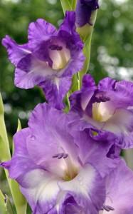 purple gladiolus in Buffalo NY area