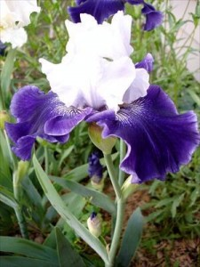 Bearded Iris 'World Premiere'