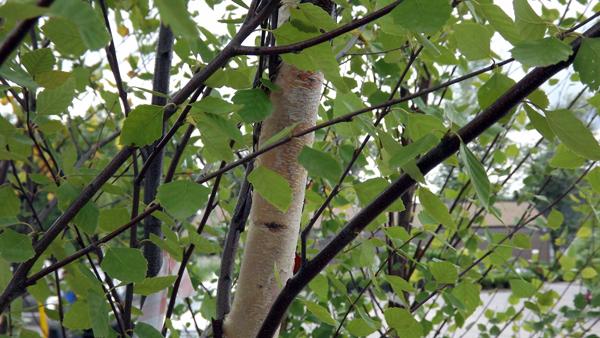 Birch tree in Buffalo NY area