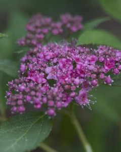 Spiraea Double Play Artist